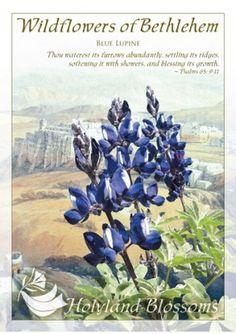 http://www.holylandblossoms.com/the_blue_lupine#.UWsqXrVJOAg #BlueLupine #HolylandBlossoms
