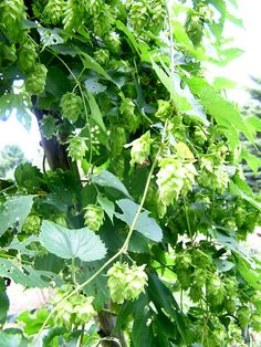 Hops are still an important crop. Most of the 55 to 60 million pounds of hops grown on U.S. soil each year are still used in beer, but because of their antimicrobial benefits, they are also used in products such as processed sugar and animal feed. Recent research has developed new hops for diverse uses.