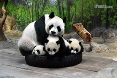 "Panda Triplets born to Ju Xiao at the Chimelong Safari Park in Guangdong province. Cubs names are Mengmeng, which means ""cute,"" is the name given to the oldest panda triplet, a girl. Her brothers' names stand for ""handsome,"" for Shuaishuai, and ""cool,"" for Kuku.  iPanda.com"