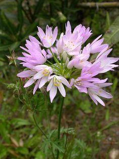 Allium roseum in the Sierra de Tejeda Agapanthus, Allium, Astrantia, Rose Pale, Astilbe, California Poppy, Calendula, Begonia, Cacti And Succulents
