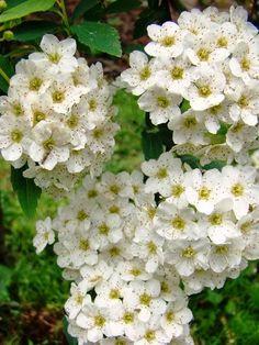 white vanhoutte spirea