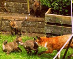 Fox Playtime