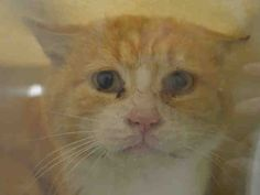 """CATSUP - A1036725 - - Brooklyn ***TO BE DESTROYED 05/22/15***POUR SOME SWEET CATSUP INTO YOUR LIFE! Catsup is a sad and scared senior gingerbread man who desperately needs a new """"leash"""" on life. What is the reward for a life well lived? For many cats, there is the long span of golden years where loving family members cater the household routine around the comfort of a senior best friend. There are many people reading this, who have done exactly that for their cats. 10 YEARS old."""