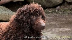 Madraí na nGael / Irish Dogs - The Irish Water Spaniel's unique coat on Vimeo