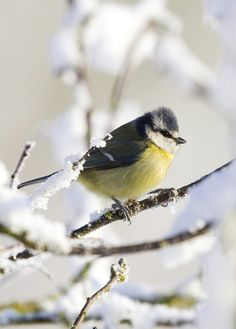 Blue Tit in winter.