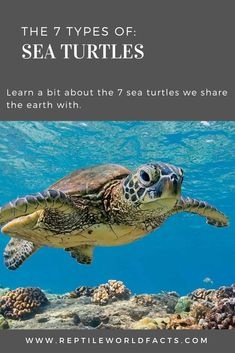 Turtles are amazing reptiles, and the group of sea turtles are no exception. Green sea turtles and loggerheads are the turtles most think of when thinking about sea turtles, but there are still 5 different types out there to learn about! Cute Turtles, Sea Turtles, Different Types Of Turtles, Les Reptiles, Marine Life, Cute Animals, Ocean, Delaware, Pets