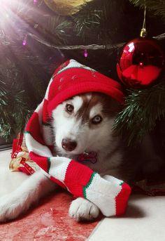 Siberian Husky – Outgoing and Cheeky Merry Christmas Dog, Christmas Animals, My Husky, Husky Puppy, Pet Dogs, Dog Cat, Doggies, Husky Drawing, Snow Dogs