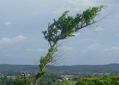 Arbusto siguiendo el viento en Upata. Imagen del valle del Yocoima al fondo, desde la serranía de Guacarapo El Toro al Noreste de Upata...