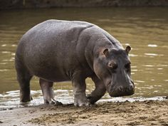 hipopotamo 1