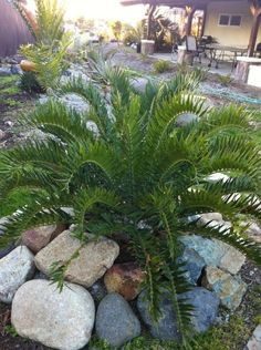 horridus x woodii cycad Willowbrook Nursery. Cycad Garden
