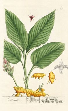 Image result for botanical drawings of turmeric