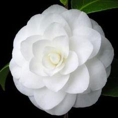 Camellia White camellia 'Nuccio's Gem' camellia – flower ideas - Modern Rare Flowers, Unique Flowers, Exotic Flowers, Amazing Flowers, Beautiful Roses, White Flowers, Beautiful Flowers, White Camellia, Blossom Garden