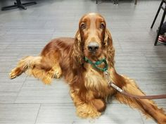 Irish setters have the sweetest expression. Pure love.