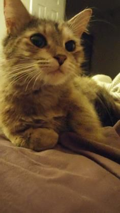 Meet Sarah, an adoptable Domestic Long Hair looking for a forever home. If you're looking for a new pet to adopt or want information on how to get involved with adoptable pets, Petfinder.com is a great resource.