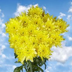 72 Fresh Cut Yellow Chrysanthemum Cushion Flowers | Fresh Flowers Express Delivery | Perfect for Birthdays, Anniversary or any occasion. -- See this great product.