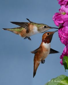 Rufous Male and Female Hummingbirds (05-21-2014: 8295) by bechtelsf on Flickr.
