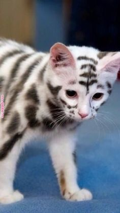 It'S soo cute looks like a tiger cat breeds, funny cats, cute funny animals Cute Cats And Kittens, I Love Cats, Crazy Cats, Cool Cats, Kittens Cutest, Fluffy Kittens, Ragdoll Kittens, Tabby Cats, Bengal Cats