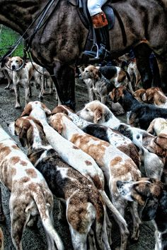The American Pastoral English Foxhound, American Foxhound, Big Dogs, Dogs And Puppies, Doggies, American Pastoral, Fox Hunting, Hunting Party, The Fox And The Hound