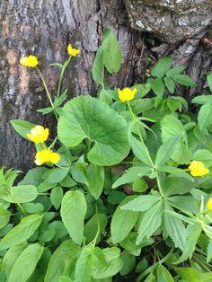 Metstulikas - juurmine leht taldrikukujuline, ülejäänud lehed kitsad, õitseb kevadel