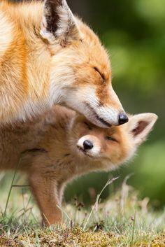 Fox cuddles -