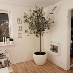 Olive Tree Decor - How to Decorate With Olive Trees