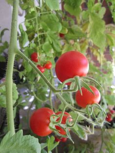 WTS ∙ How to Grow Tomatoes
