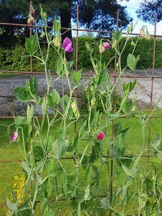 Året første «duftbombe» fra terrassen eller hagen Plants, Patio, Plant, Planets