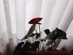 My new anthurium