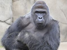 RIP Harambe the 17 year old Silverback Gorilla that was shot and killed at the…