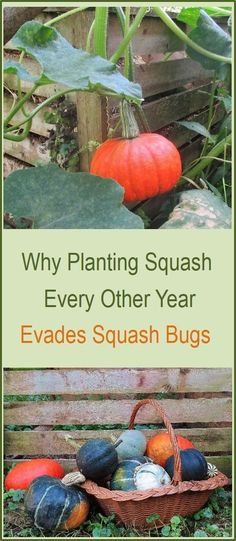 We get far better yields and battle much less with squash bugs by planting squash and pumpkins on only alternate years. Learn why this works.