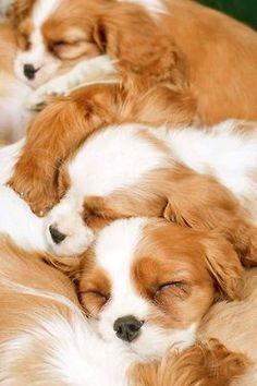 Here's a lovely bunch of sleeping Cavalier puppies.  #puppied