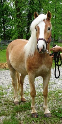 Definitely want a second horse, and I want one of these! Hickory Lane Haflingers