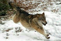 Running wolf