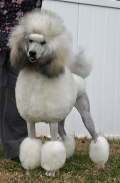 silvers, and multicolored poodles - Page 3 - Poodle Forum - Standard Poodle, Toy Poodle, Miniature Poodle Forum ALL Poodle owners too! Poodle Cuts, Poodle Mix, Tiny Puppies, Kittens And Puppies, Poodle Grooming, Dog Grooming, Mini Poodles, Standard Poodles, Teddy Bear Poodle