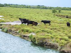 Bulls in Camargue, France stock photo 76760351 - iStock