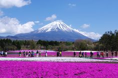 Fuji Shibazakura Festival Lets You Enter A Pink Dream World