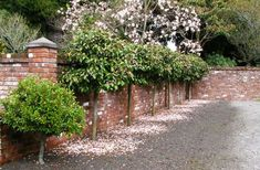 Lollipop Fairy Magnolia Blush at our entranceway. The smaller michelia to the left is an unnamed figo hybrid with masses of creamy yellow flowers.