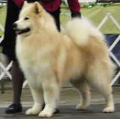 Samoyed: biscuit-y goodness on this one! Wow.