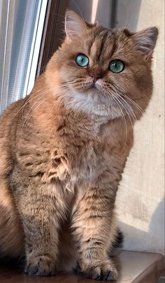 British Shorthair, Domestic Cat, Beautiful Cats, Cat Breeds, Cute Babies, Dog Cat, Pets, Animales, Baby Kitty