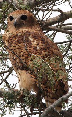 Pel's Fishing Owl Scotopelia peli - Google Search