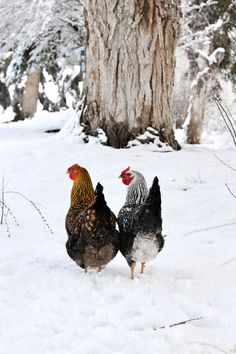 Boxwood Avenue's chickens - http://www.boxwoodavenue.com