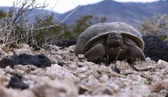 Protect Desert Tortoise: Tell the Bureau of Land Management not to reopen the Desert Renewable Energy Conservation Plan. #solarenergymanagement