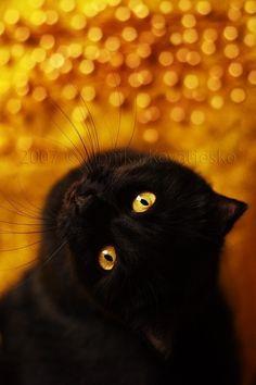 great shot of black cat and reflective orange background Crazy Cat Lady, Crazy Cats, Noir Ebene, Groucho Marx, Image Chat, Matou, Photo Chat, Cat Boarding, Jolie Photo