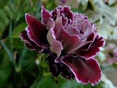 carnation flowers - Pesquisa Google