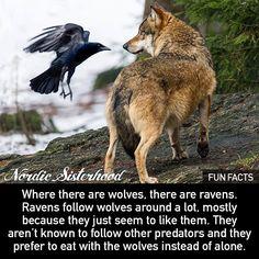 "452 Likes, 8 Comments - Nordic Sisterhood (@nordic_sisterhood) on Instagram: ""#wolf #raven #funfacts"""