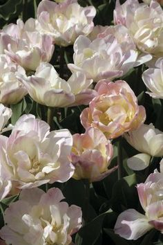 Tulipa - Creme Upstar Pale Pink, Purple, Front Yard Design, Yellow Interior, Spring Bulbs, Garden Inspiration, Overlay, Bloom, Exterior