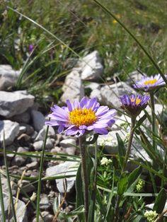 Alpen-Aster (Aster alpinus) #Kleinwalsertal #geschützt. Alpine Plants, Felder, Aster, Wildflowers, Designer, Nature, Meadow Flowers, Natural Garden, Flower Pictures