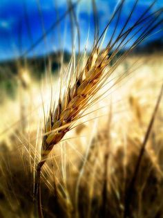 Detail of  the golden sea of the wheat  fields in Valdorcia