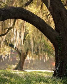 """hueandeyephotography: """"Live Oaks with Spanish Moss, Middleton Place Gardens, Charleston, SC © Doug Hickok All Rights Reserved """" South Carolina Homes, Middleton Place, Spanish Moss, Eye Photography, Nature Images, Travel Images, Amazing Gardens, The Great Outdoors, Beautiful Places"""