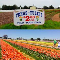 Pick your own tulips at Texas Tulips